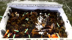 a crate of live lobster in a holding tank at a wholesalers warehouse in portland, maine