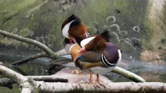 4K 60p close up of a pair of mandarin ducks preening their feathers while standing beside a pond