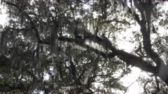 a gimbal panning shot of backlit spanish moss growing on trees at chippewa square in savannah, georgia