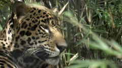 a 4K 60p close up side view of a male jaguar lying on the ground