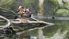 a 4K 60p wide shot of a mandarin duck pair preening their feathers beside a pond