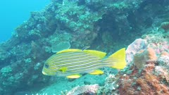 close up of a cleaner wrasse and a lined sweetlips on the liberty wreck at tulamben on the island of bali, indonesia