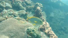 cleaner wrasse and goldlined sweetlips on the liberty wreck at tulamben on the island of bali, indonesia
