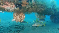 a blackspot snapper and a soft coral growing on the liberty wreck at tulamben on the island of bali, indonesia