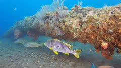a diagonal lined sweetlips at the liberty shipwreck in tulamben on the island of bali, indonesia