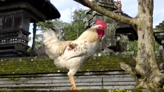 a rooster stands on a wall of a courtyard in bedugul village in bali, indonesia
