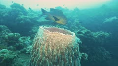 front view of a midnight snapper and a barrel sponge at the wreck of the usat liberty in tulamben on the island of bali, indonesia