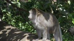 a 4K 60p clip of two monkeys on log near ubud on bali, indonesia