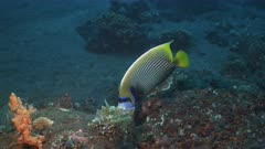 an emperor angelfish swims at the liberty wreck at tulamben on the island of bali, indonesia