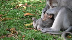 close up of a macaque mother looking for lice on her baby while resting on grass at uluwatu temple in bali, indonesia