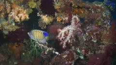 a regal angelfish swimming at the liberty wreck in tulamben on the island of bali, indonesia