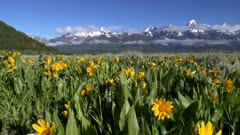 pan of grand teton mountain and yellow balsamroot flowers in grand teton national park in the united states