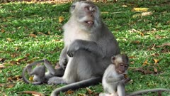 a macaque monkey with two babies rests on a grass lawn at uluwatu temple on bali, indonesia