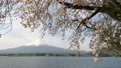 a large cherry tree in bloom on the banks of lake kawaguchi with mt fuji in the distance at kawaguchiko in japan