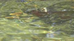 close up of a rainbow trout in the merced river of yosemite national park in the united states