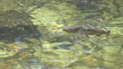 close up of a rainbow trout feeding in the merced river at yosemite national park in the united states of america