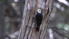 a white headed woodpecker inspects its nest at yosemite national park in the united states