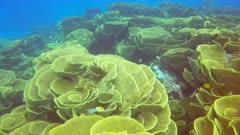 cabbage coral, Turbinaria reniformis, on rainbow reef on the somosomo strait in fiji