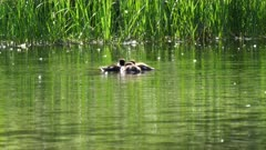 adult and baby common goldeneye ducks on a pond in grand teton national park, usa
