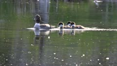 a tracking shot of a common goldeneye duck family on a pond in grand teton national park in the united states