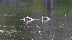 a close view of goldeneye ducklings swimming on a pond at grand teton national park, usa