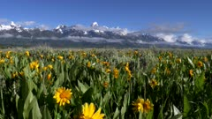 grand teton mountain and yellow balsamroot flowers in grand teton national park in the united states