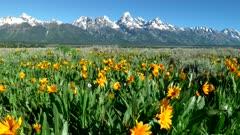 4K 60p slider shot of grand teton and yellow balsamroot flowers in grand teton national park in the united states