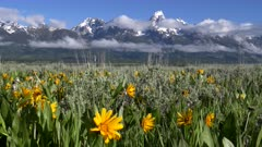 close up of yellow balsamroot flowers with the tetons in the distance at grand teton national park in the united states