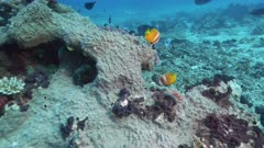 pair of blacklip butterfly fish at rainbow reef on the somosomo strait in fiji