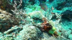 tracking shot of a cheek-lined wrasse on rainbow reef in the somosomo strait of fiji