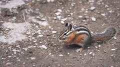 17% slow motion clip of a chipmunk feeding at glacier national park in montana, usa