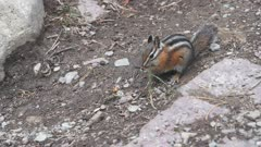 17% slow motion side view of a chipmunk feeding at glacier national park in montana, usa