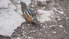 a 180p slow motion high view of a chipmunk at glacier national park in montana, usa