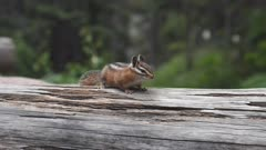 17% slow motion shot of a chipmunk running  across a log at glacier national park in montana, usa
