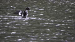 female common golden eye duck flaps its wings on fishercap lake at glacier national park in montana, usa