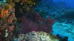 red sea fan on rainbow reef in the somosomo strait of fiji