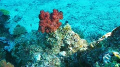 close view of a red soft coral on rainbow reef on the somosomo strait in fiji