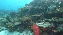schools of colorful fish swim above corals at rainbow reef in the somosomo strait of fiji