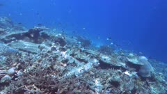 shallow water clip of corals on rainbow reef in the somosomo strait of fiji