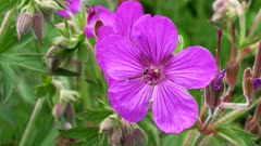 close up of sticky purple geranium flowers at glacier national park park in montana, usa