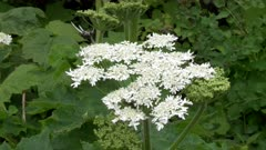 close shot of white yarrow flower head at glacier national park in montana, usa