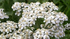 close up of white yarrow flowers growing in a field at glacier national park in montana, usa