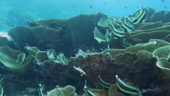 several horned bannerfish and yellow scroll coral at rainbow reef on the somosomo strait of fiji