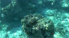 scuba diving underwater shot of finger coral on rainbow reef in fiji