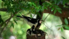 three magpie lark babies in a nest being fed by a parent