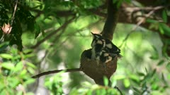 a baby magpie lark in a nest stretches its wings