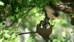 an australian magpie lark parent feeds babies on a nest in a tree