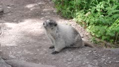 side view of a marmot on a trail at glacier national park in montana, usa