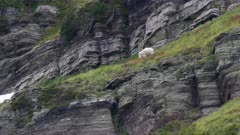 a mountain goat feeds above a cliff face near grinnell glacier at glacier national park in montana, usa