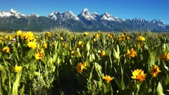 a close up gimbal shot walking amongst yellow balsamroot flowers with grand teton in the background at grand tetons national park in the united states